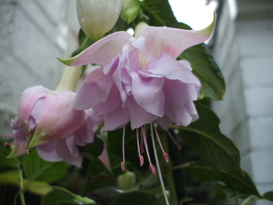 Fuchsia Hollies Beauty