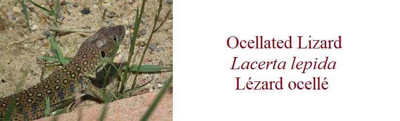 Lézard ocellé, Lacerta lepida, Ocellated Lizard, in France