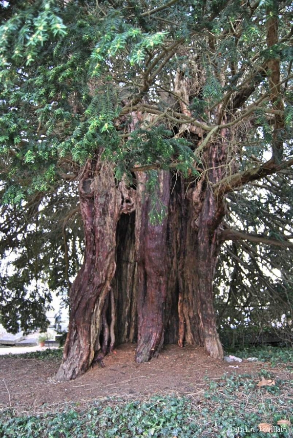 800 year old Yew tree France