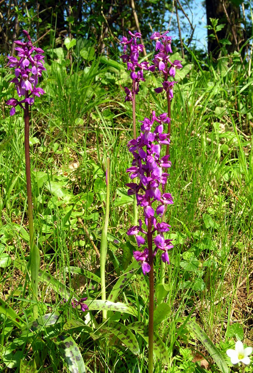 Early purple orchid  Orchis mascula o, France