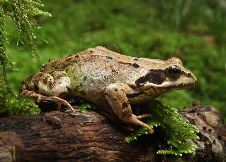 Common frog France