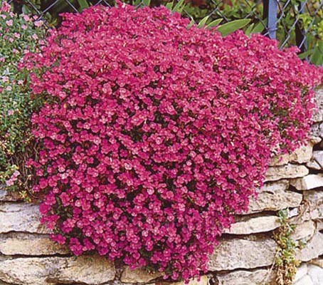 Aubretia Royal Red