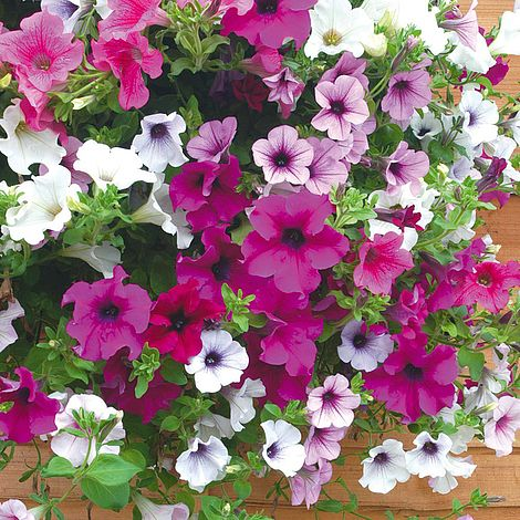 20 Surfinia Petunia Mixed