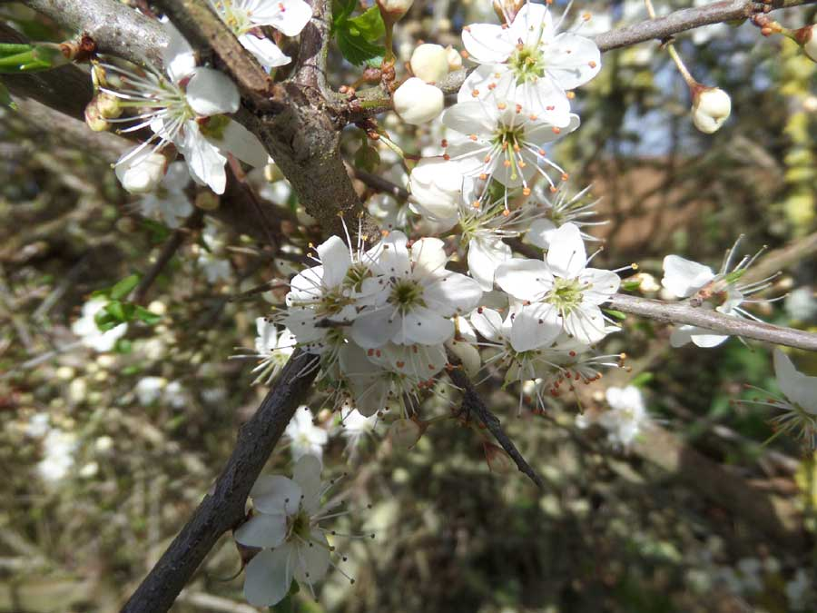Blackthorn or Sloe in France