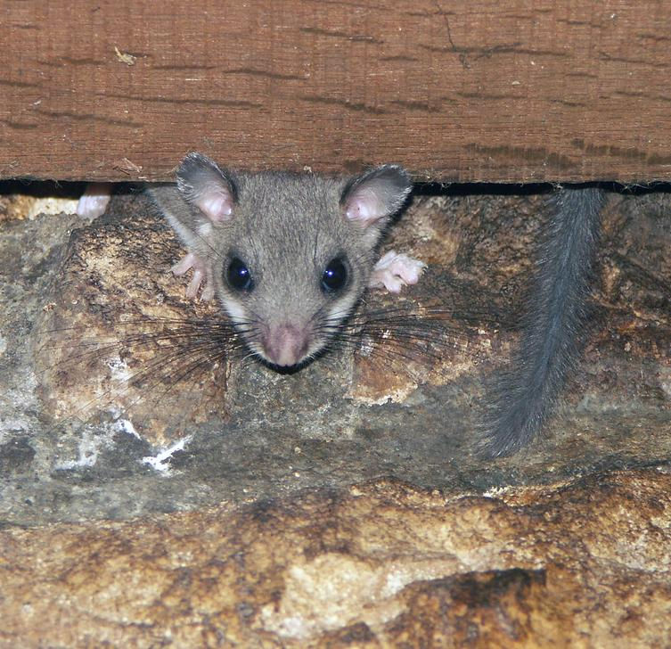 Edible or Fatty dormouse, Myolux Glis / Glis Glis, Loir gris in France