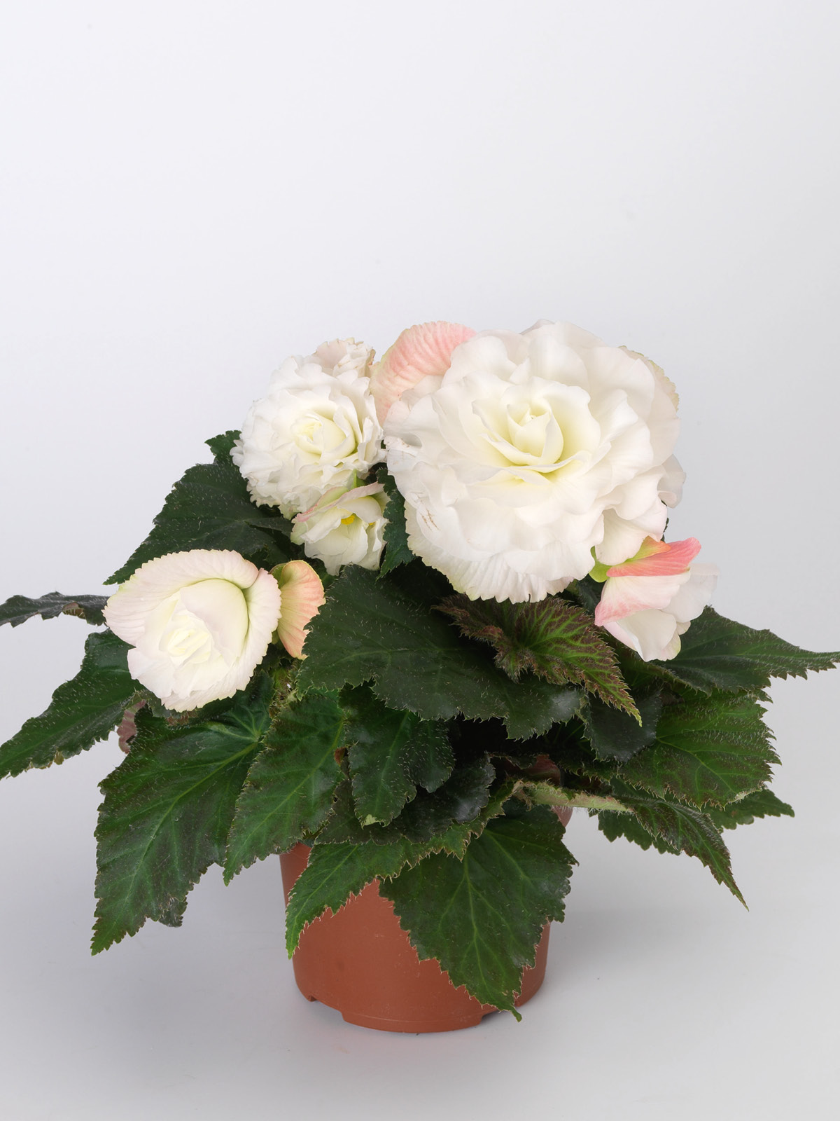 Non Stop Begonia White / Apple-blossom