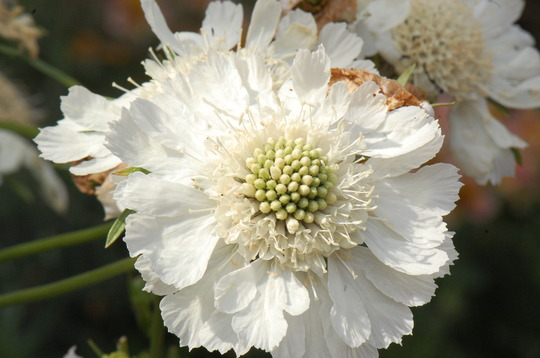 Scabiosa White Perfection
