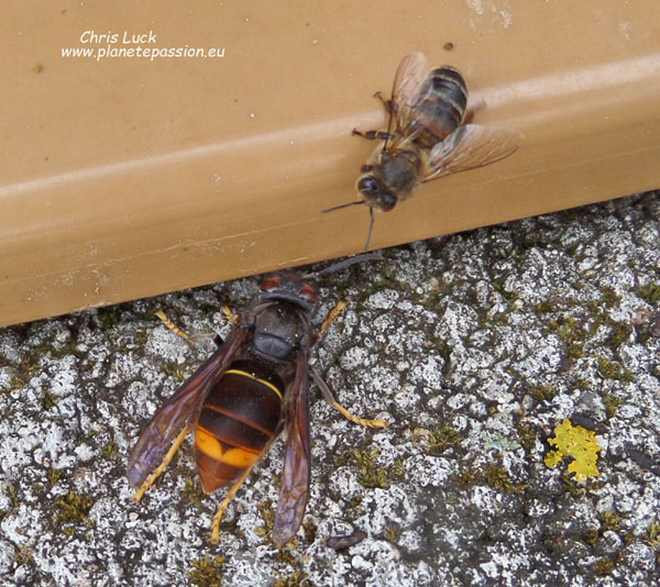 Asian Hornet Queen attracted by the scent of honey