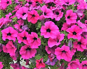 Petunia Surfinia Giant Purple