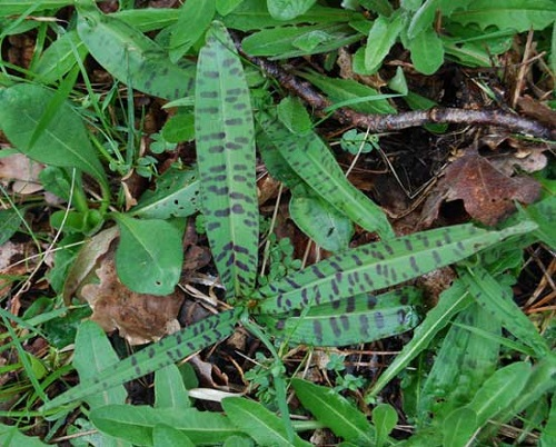 Common spotted orchid  Dactylorhiza fuchsii leaves in France