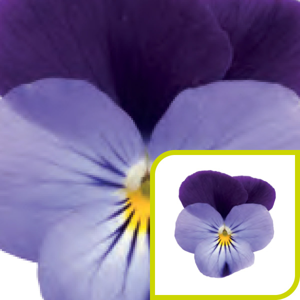 Viola; Lilac with Purple Wing