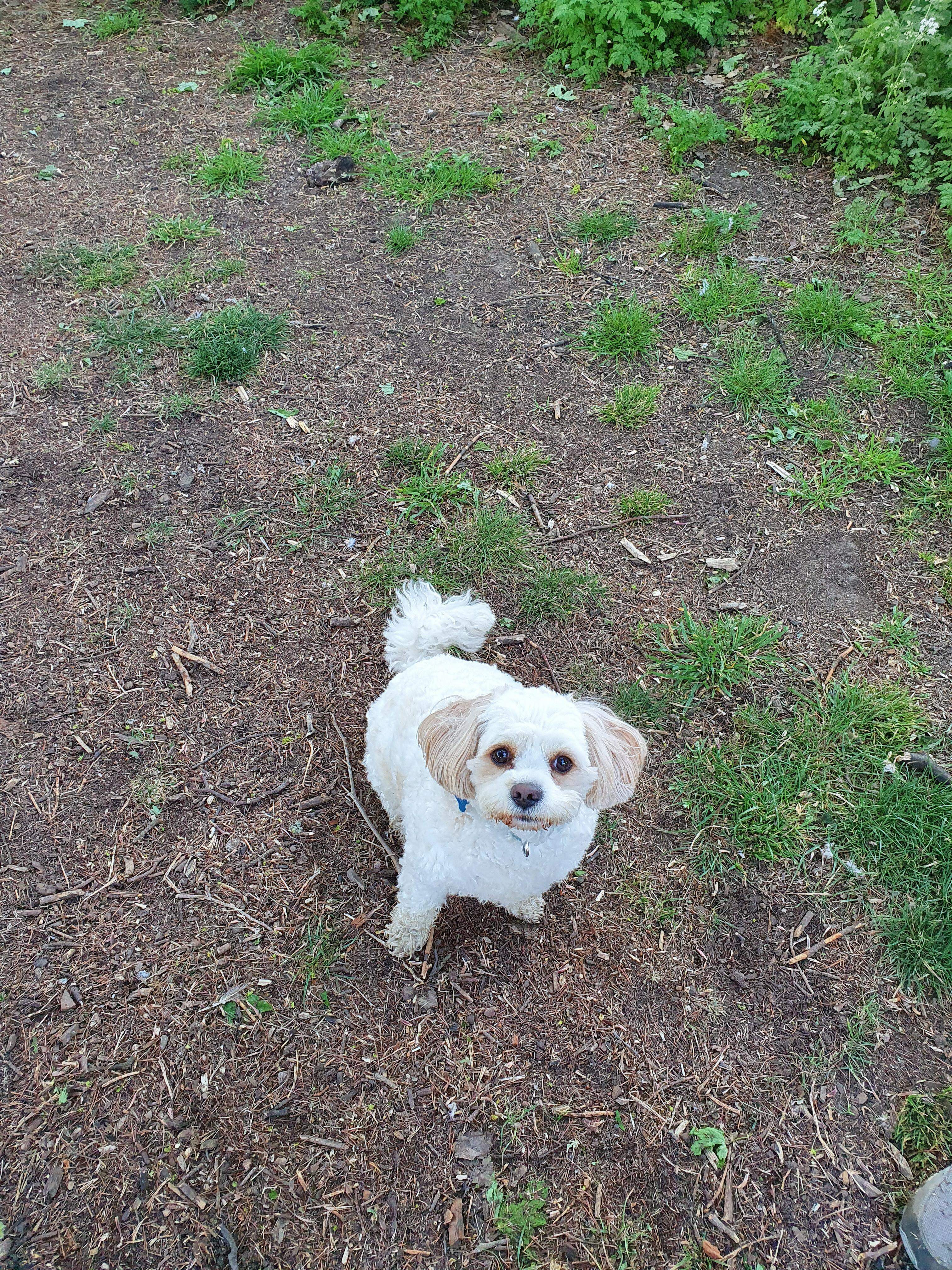 7 year old Bichon Frise