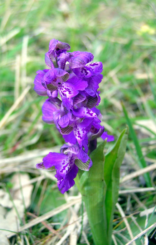 Green Winged Orchid  Anacamptis morio in France