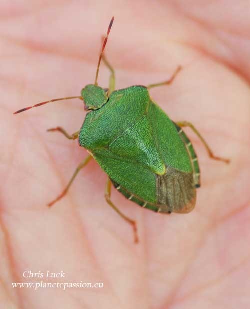 Common Green Shieldbug, Palomena prasina France