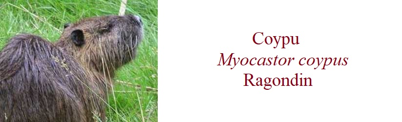 Coypu  Myocastor coypus  Ragondin in France