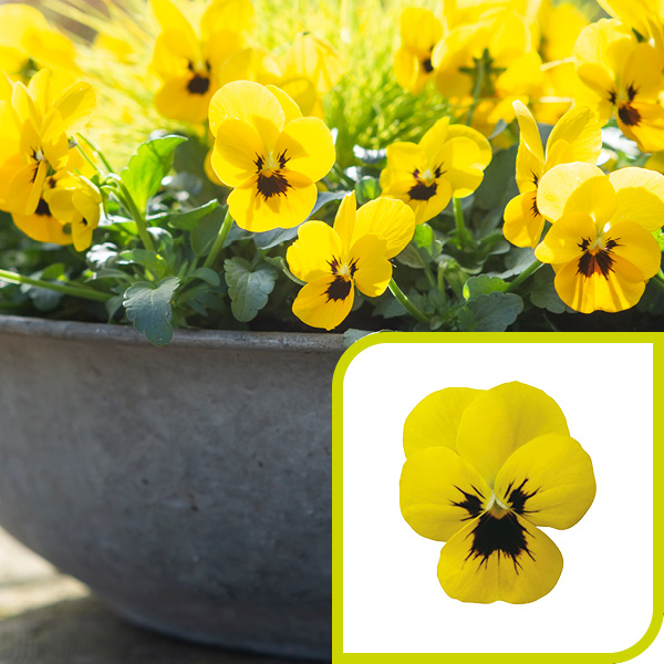 Viola; Yellow with Blotch