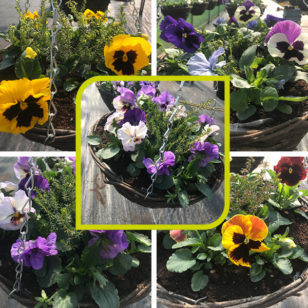 Winter Pansy Hanging Basket