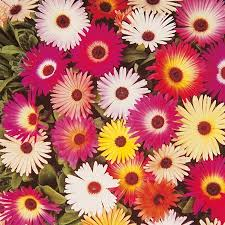 Mesembryanthemum Mix