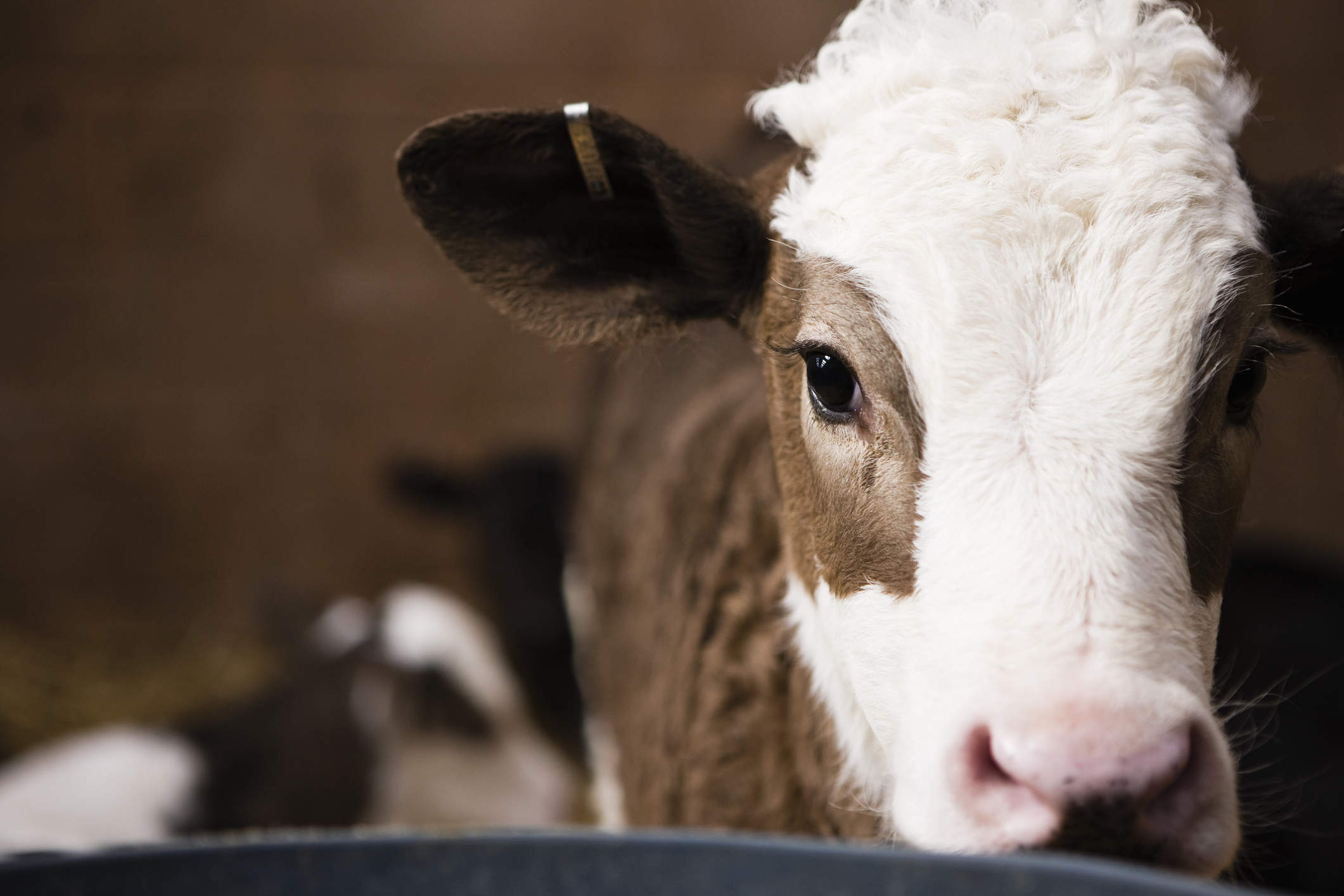 Brown and white calf in a pen with other calves.