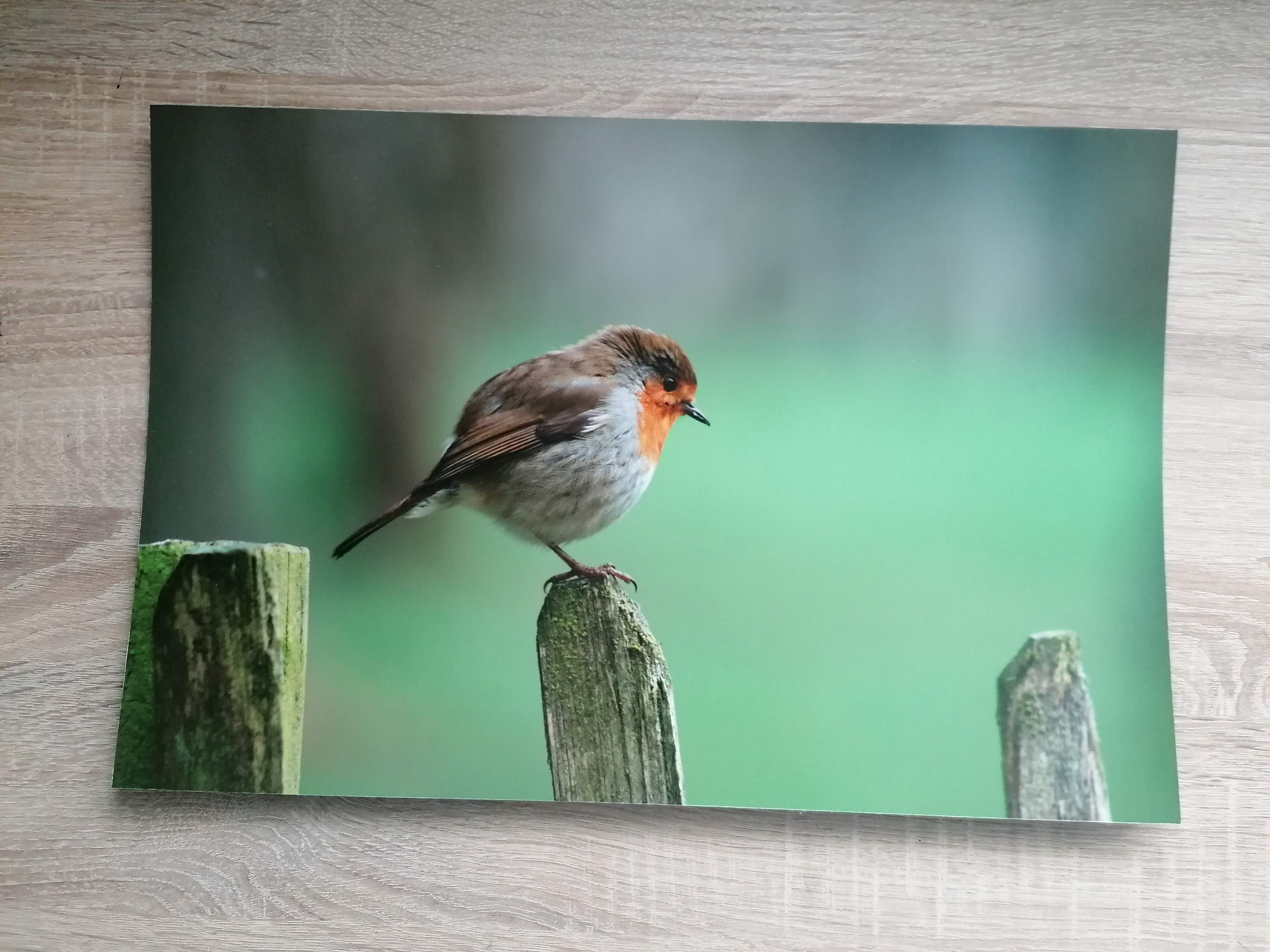 Robin photo dry mounted