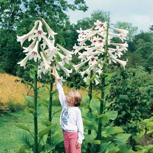 Cardiocrinum Giganteum - Potted 2 Litre - Rare and limited Stock!