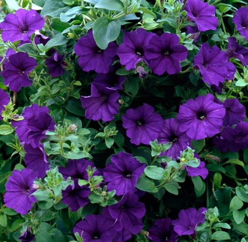 Petunia Surfinia Blue
