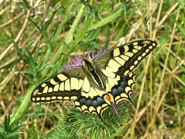 Swallowtail butterfly on Spear thistle France