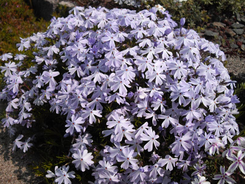 Phlox Emerald Cushion
