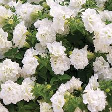 Petunia Surfinia Double White
