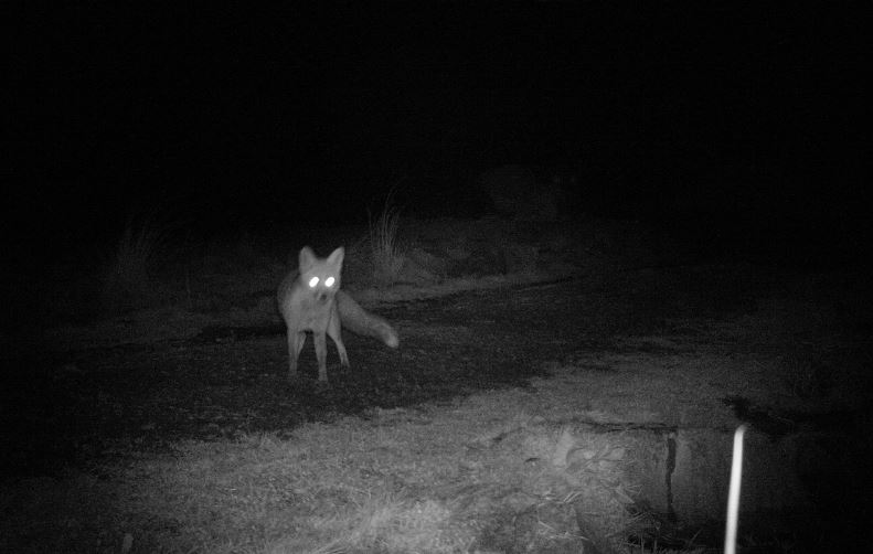 fox trail cam gorsebankJPG