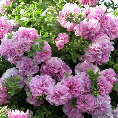 Petunia Surfinia Double Deep Pink