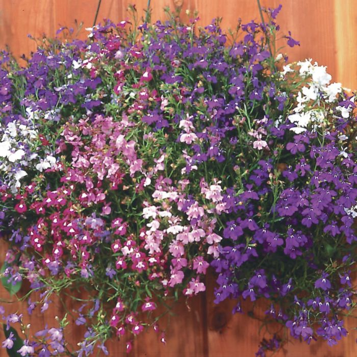 Lobelia trailing Regatta Mix