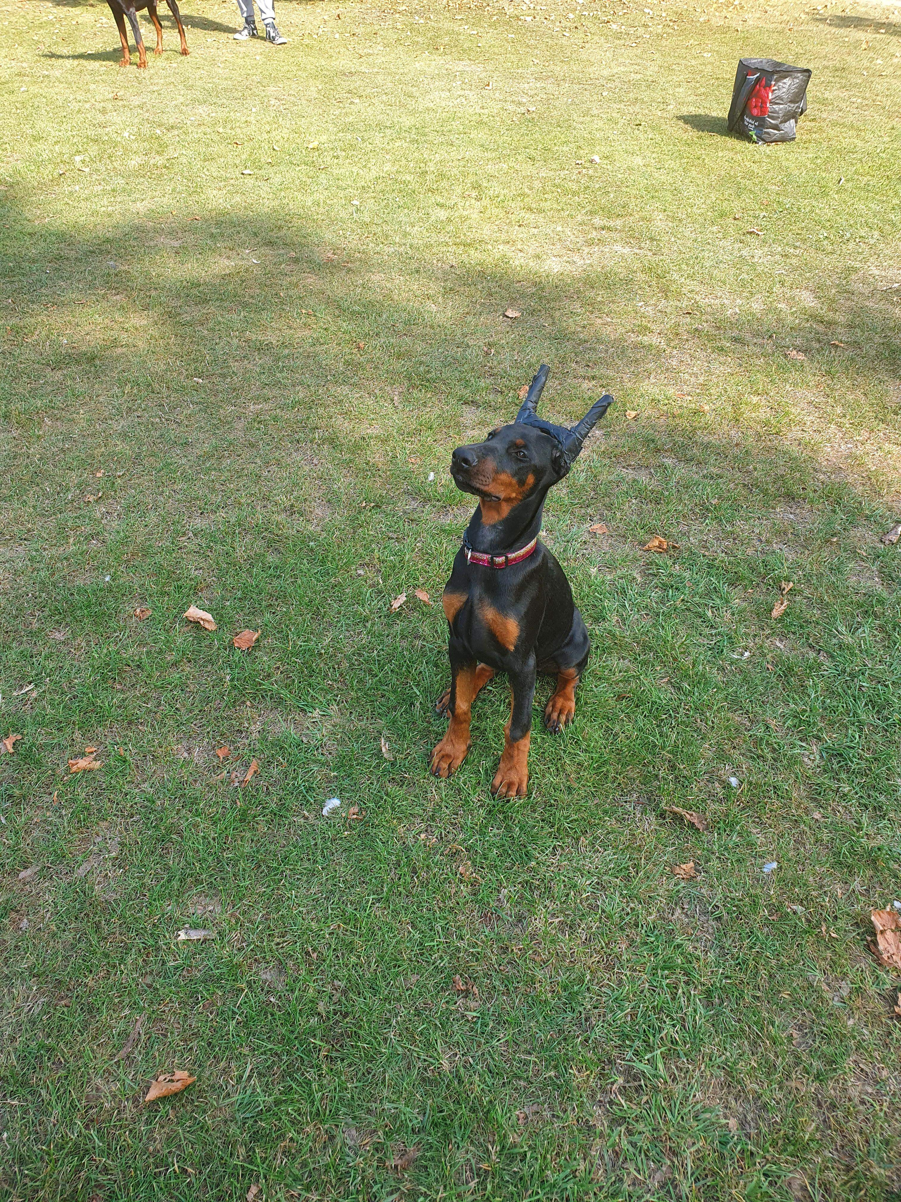 7 month old Doberman