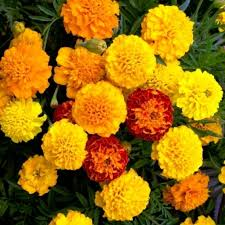 Marigold French Durango Mixed