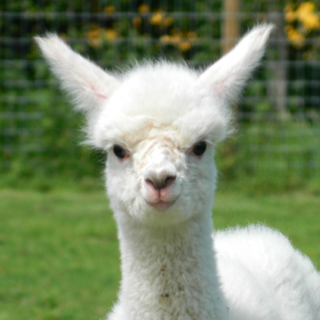 While we do keep other livestock here at Petlake Farm, we primarily rear quality huacaya alpacas.
