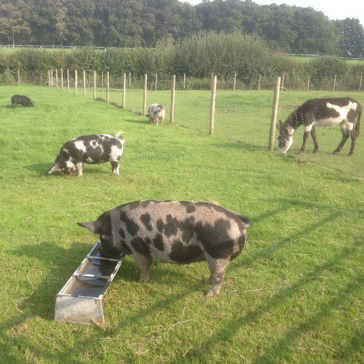 In addition to alpacas, we also keep Kune Kune Pigs, Donkeys, Chickens and Ducks at Petlake.