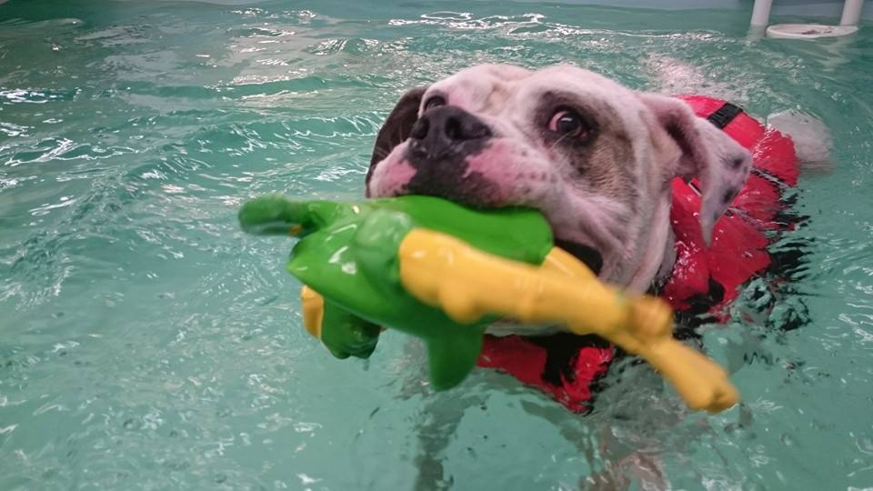 injury rehabilitation for dogs - the Solway Hydrotherapy Centre Dumfries