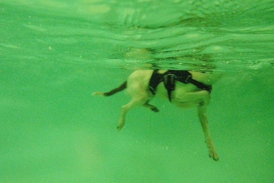 Arthritis, deaf dog, underwater swimming, canine hydrotherapy