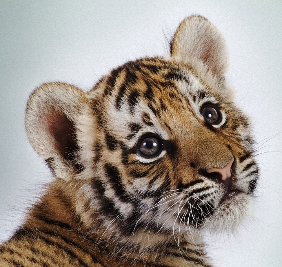 baby-tiger-pictures-20.jpg