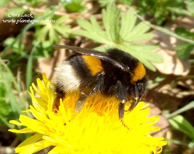 White-tailed-bumble-bee-France