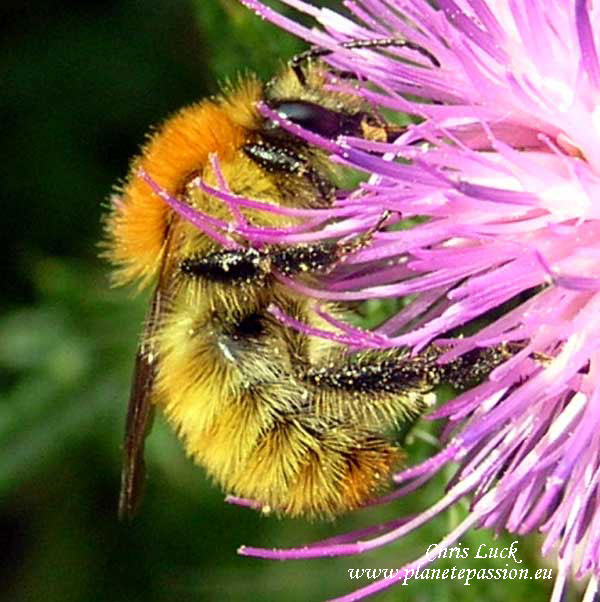 Bombus-pascuorum-le-bourdon-des-champs-France