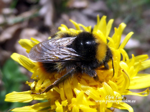 Queen-Early-Bumblebee-Bombus-pratorum-France