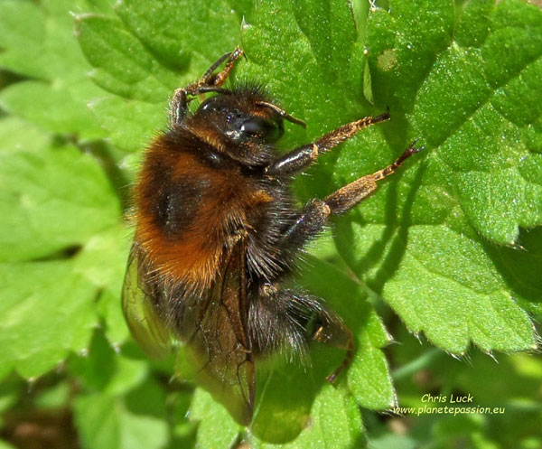 Tree-bumblebee-Bombus-hypnorum-in-France