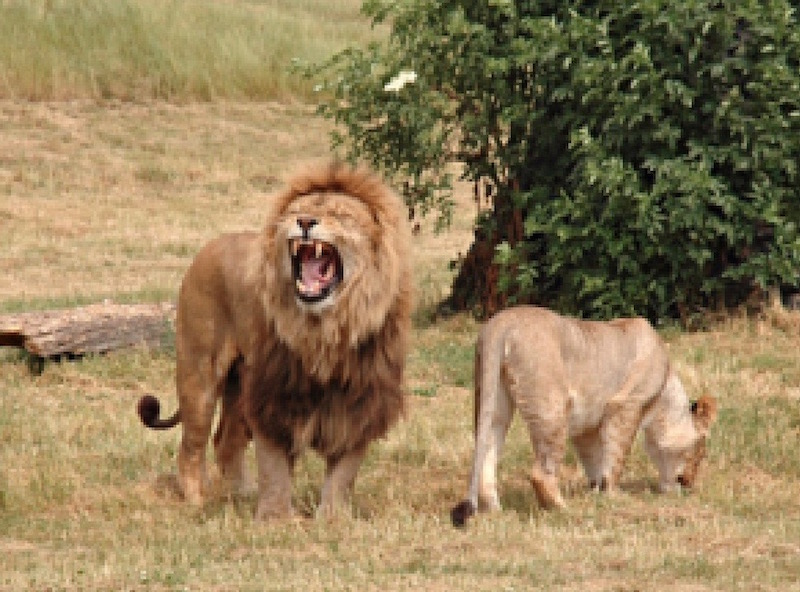 The lions at Howletts Zoo Park in Kent