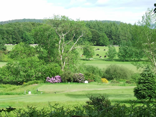 Newton Stewart Golf Club with beautiful rhododendrons in bloom and cows grazing peacefully in the distance