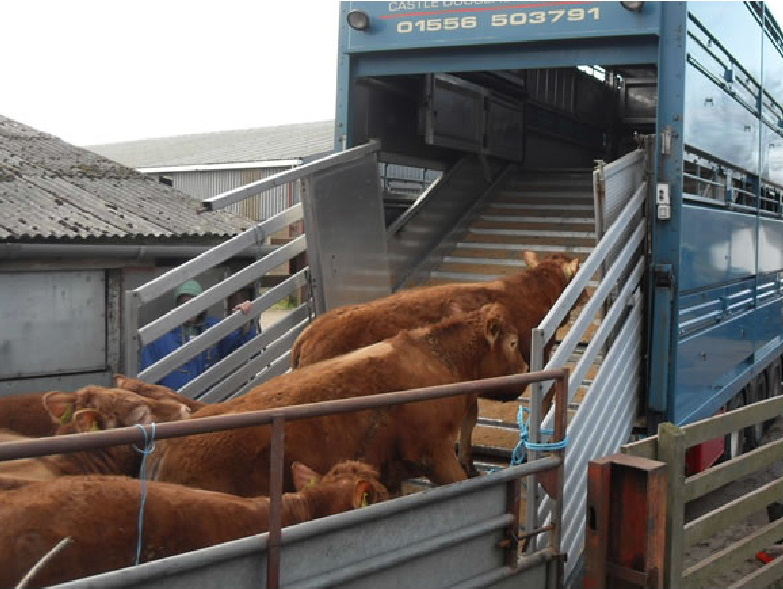 Cattle mounting into a truck