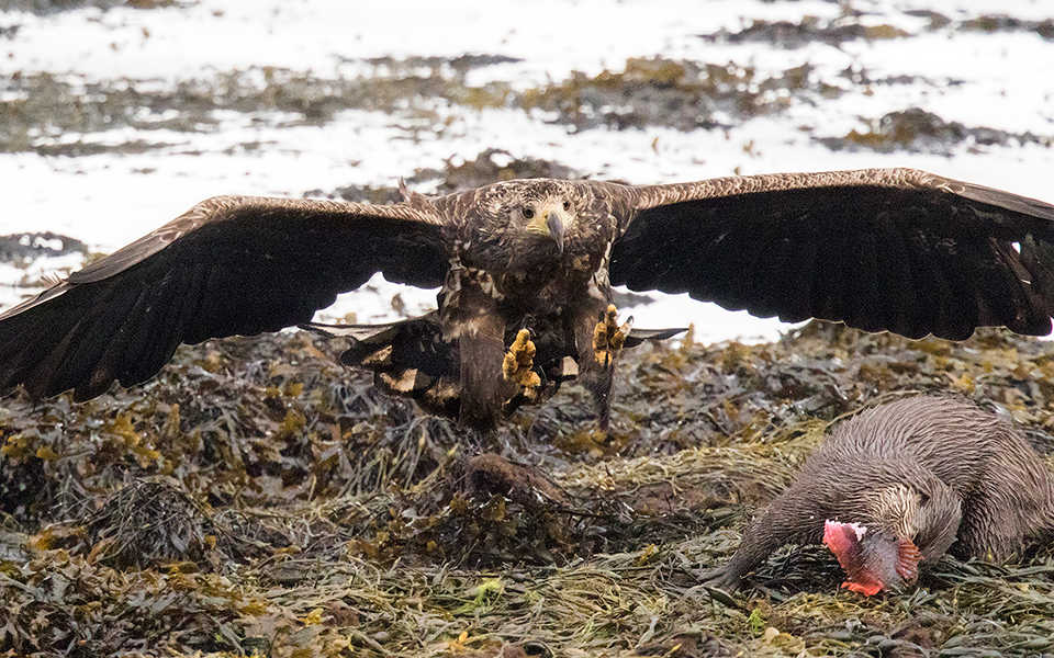 White-tailed Eagle & Eurasian Otter