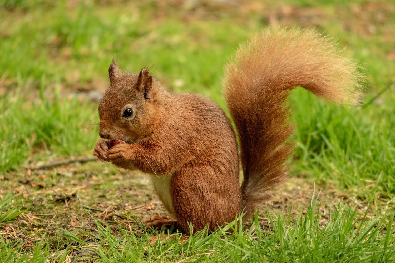 Red squirrel 2019jpg